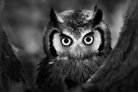 piuma bianca: Primo piano per l'elaborazione Whitefaced Owl Artistico