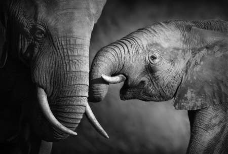 affections: Elephants showing affection  Artistic processing  Stock Photo