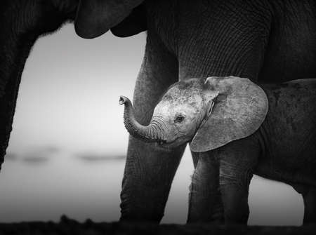 baby elephant: Baby Elephant next to Cow  Artistic processing  Addo National Park