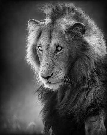 monochroom: Man Lion Portret artistieke verwerking Stockfoto
