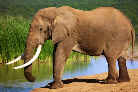 Elephant with large tusks standing at waterhole - Addo National Park
