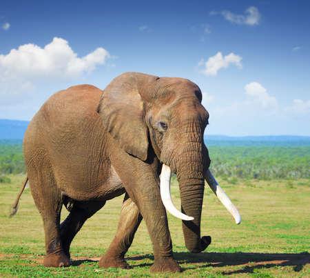 animales silvestres: Elefante con grandes colmillos - Parque Nacional Addo