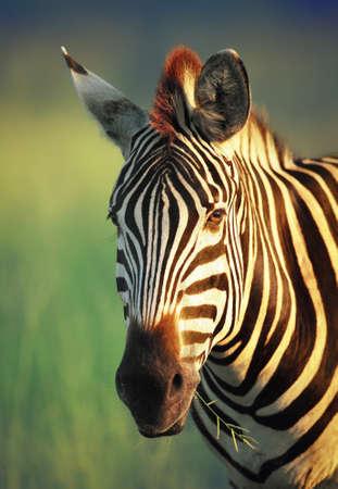 Zebra portret - Kruger Nationaal Park Zuid-Afrika Stockfoto