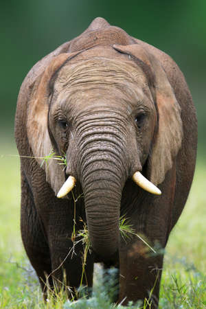 grassfield: Front view of an elephant eating grass - Addo National Park
