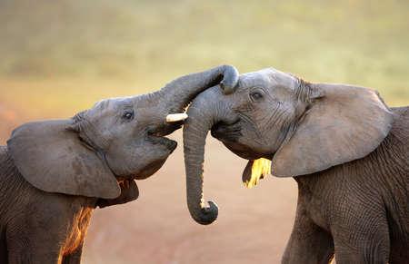 genegenheid: Olifanten raken elkaar zachtjes begroeting - Addo Elephant National Park Stockfoto