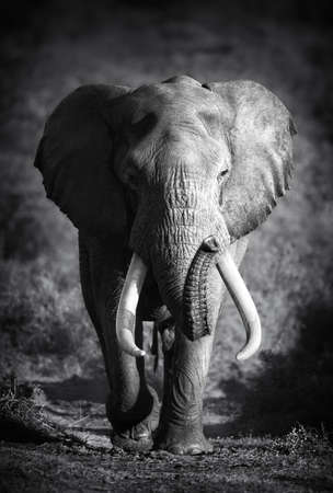 black and white image: Large Elephant Bull Approaching  Artistic processing