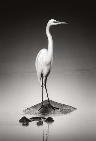 Great white egret on Hippopothamus  Artistic processing
