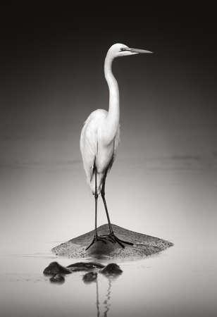 egret: Great white egret on Hippopothamus  Artistic processing
