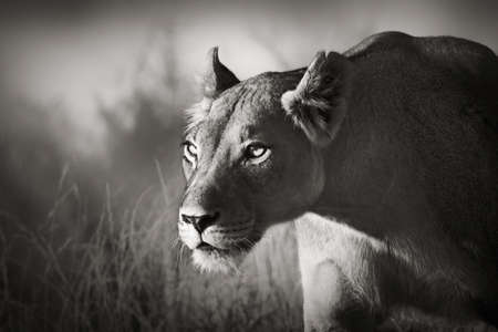 Lioness stalking - Kalahari desert  Artistic processing  photo