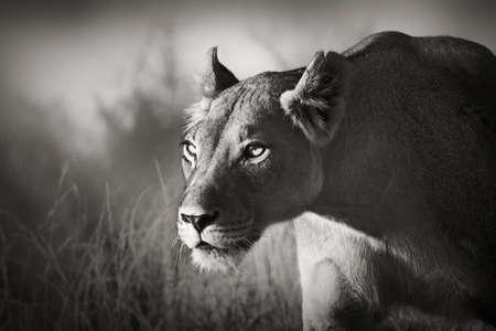 panthera leo: Lioness stalking - Kalahari desert  Artistic processing