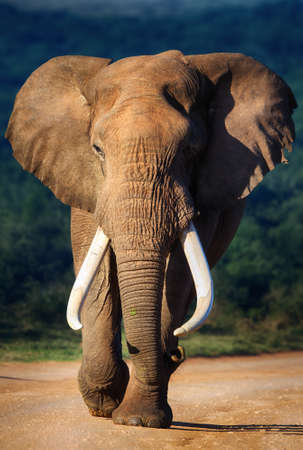 africa safari: Elephant with large teeth approaching - Addo National Park Stock Photo