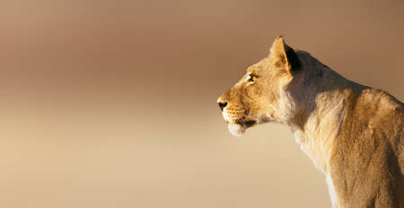 kalahari: Lion; female; panthera leo; South Africa Stock Photo