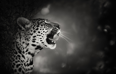 Leopard Portrait  Artistic processing  - Kruger National Park - South Africa photo
