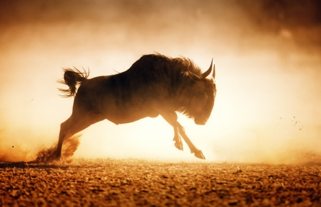 Blue wildebeest running in dust - Kalahari desert - South Africa Reklamní fotografie