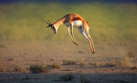 スプリングボック カラハリ砂漠 - Antidorcas Marsupialis - 高 - 南アフリカ共和国のジャンプを実行しています。