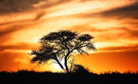Puesta de sol contra el árbol de acacia en las llanuras africanas - desierto de Kalahari - Sudáfrica Foto de archivo