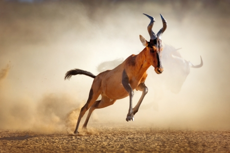 Red hartebeest running in dust - Alcelaphus caama -  Kalahari desert -  South Africa Foto de archivo
