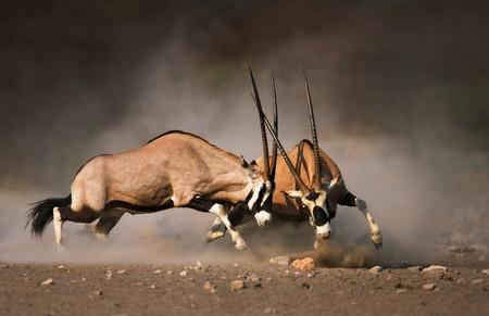 La intensa lucha entre dos hombres Gemsbok en las llanuras polvorientas de Etosha