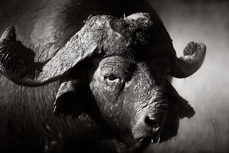 アフリカのバッファローの肖像画 (Syncerus caffer) - クルーガー国立公園 (南アフリカ)