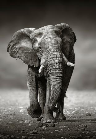Afrikaanse olifant Loxodonta Africana aanpak van de voorkant Etosha National Park Namibië Stockfoto - 40294962