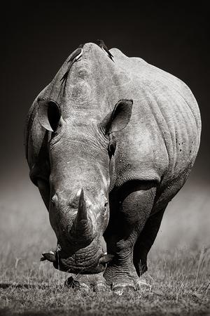 Nosorożec biały Ceratotherium simum zbliża się z przodu Park Narodowy Krugera Republika Południowej Afryki