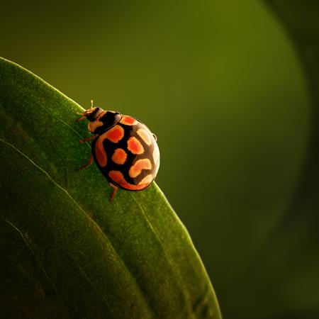 무당 벌레는 녹색 잎의 가장자리에 크롤 링 무당 벌레