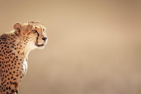 치타 초상화 - 칼라 하리 사막 - 남아프리카 공화국