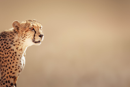 Cheetah portrait  - Kalahari desert - South Africa Standard-Bild