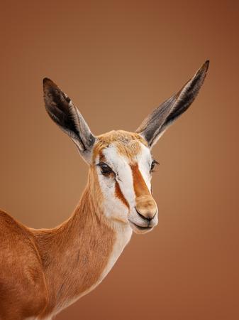 미 숙 Springbok Antidorcas marsupialis 초상화 - 칼라 하리 사막 남아 프리 카 공화국
