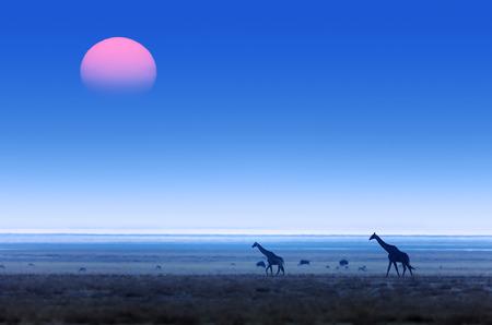 기린 (기린 자리)는 일몰과 함께 평면 대평원을 통해 산책. 에토 샤 국립 공원 (나미비아)