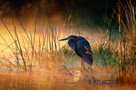 Goliath reiger (Ardea goliath) met zonsopgang over mistige rivier - Kruger National Park (Zuid-Afrika)