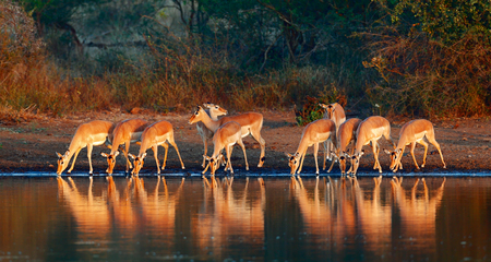 임팔라 무리 (Aepyceros melampus) 마시는 물 - 크루 거 국립 공원 (남아프리카 공화국)