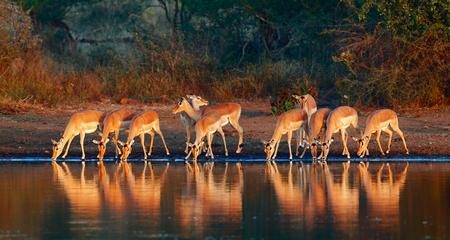 Impala herd (Aepyceros melampus) drinking water - Kruger National park (South Africa)