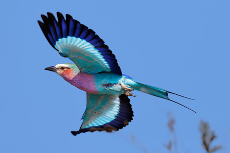 Lilac-breasted Roller (Coracias caudatus) taking flight against clear blue sky - Kruger National Park (South Africa) Foto de archivo