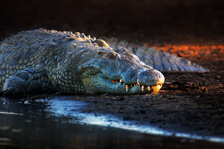 Nile crocodile (crocodylus niloticus) on riverbank with last light of day -Kruger National Park (South Africa) Stockfoto