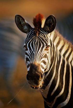 얼룩말 (에 쿠 스 burchell) 초상화 근접 - 크루 거 국립 공원 (남아프리카 공화국)