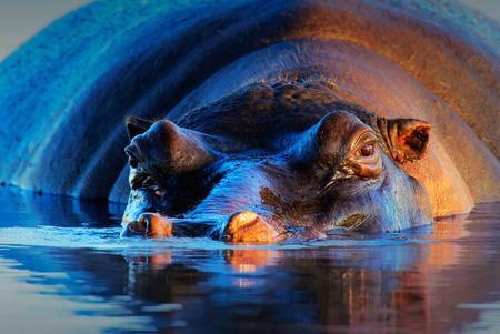 Nijlpaard (amphibius van het Nijlpaard) bij zonsondergang en lage hoek - Kruger National Park (Zuid-Afrika)