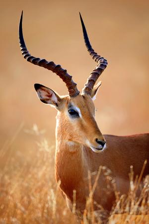 임팔라 남성 (Aepyceros Melampus)에 세로 확대 - 크루 거 국립 공원 (남아프리카 공화국) 스톡 콘텐츠