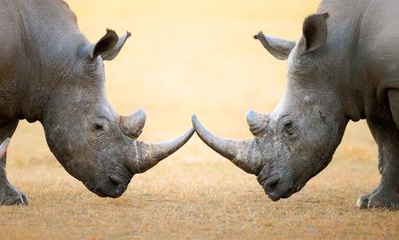 흰 코뿔소 (Ceratotherium Simum) 머리에 머리 - 크루 거 국립 공원 (남아프리카 공화국)