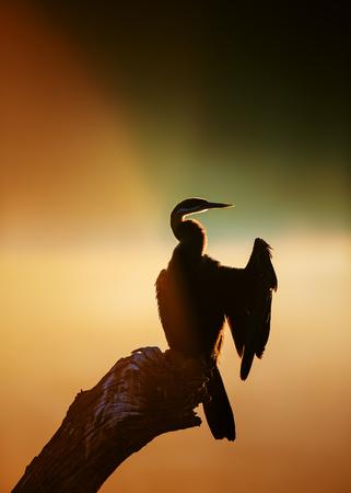 Darter (Anhinga melanogaster) with sunrise reflecting over misty river - Kruger National Park (South Africa)
