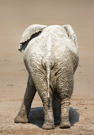 Rear view of a very muddy elephant on salty  plains of Etosha National Park