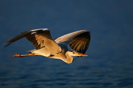 회색 헤론 (Ardea cinerea) 낮은 푸른 물 - 크루 거 국립 공원 (남아프리카 공화국)