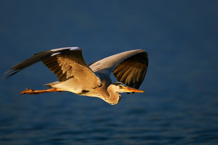 Grey heron (Ardea cinerea) flying low over blue water - Kruger National Park (South Africa)