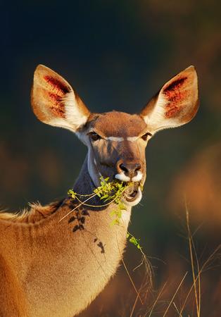 Kudu 암소 (Tragelaphus strepsiceros) 초상화 먹는 녹색 잎 - 크루 거 국립 공원 (남아프리카 공화국) 스톡 콘텐츠