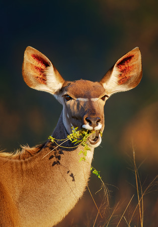 Kudu cow (Tragelaphus strepsiceros) portrait eating green leaves - Kruger National park (South Africa) Reklamní fotografie