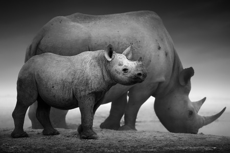 Black Rhinoceros calf (Diceros bicornis) standing with cow  at a waterhole - Etosha National Park (Digitally enhanced) Banque d'images