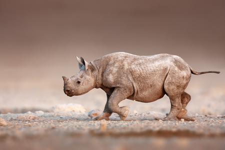 Etosha의 짠 사막 평원을 달리는 검은 색 코뿔소 스톡 콘텐츠