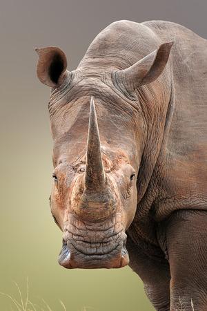 하얀 코뿔소의 근접 초상화; Ceratotherium Simum; 남아프리카