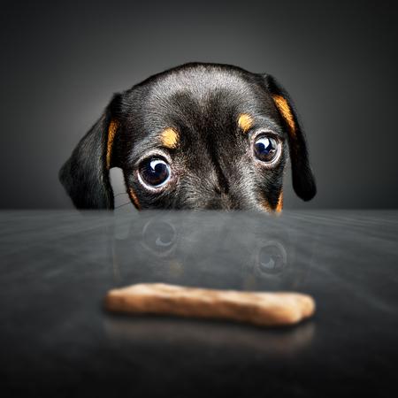テーブルの上 (届かない) 治療を見てダックスフンド子犬