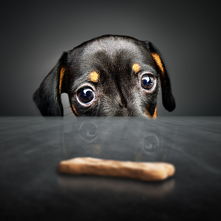 Dachshund puppy looking at a treat (out of reach) over a table Imagens